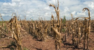 Corn dying from drought