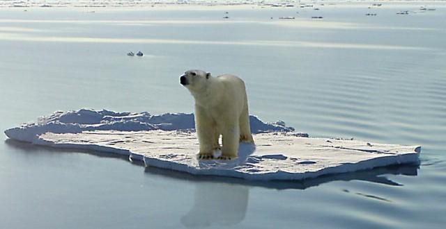 Polar Bear stuck on ice