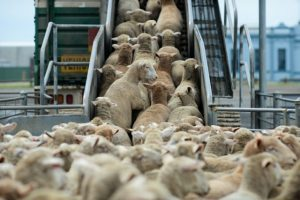 Sheep to slaughter